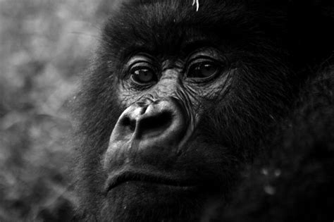 file gorilla face jpg wikimedia commons