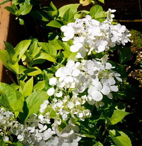 Bridal Bouquets For Sale by Hydrangea Macrophylla Bridal Bouquet For Sale