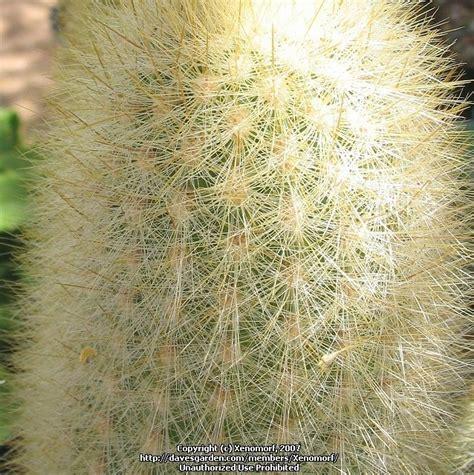 Desert Botanical Garden Gift Shop Plantfiles Pictures Haageocereus Haageocereus Pseudomelanostele Subsp Aureispinus By Xenomorf