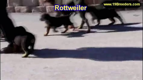rottweiler puppies for sale in ky rottweiler puppies dogs for sale in louisville kentucky ky 19breeders bowling