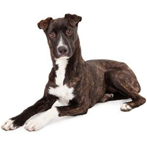 mountain cur dogs 17 best images about mountain cur dogs on duke 6 month olds and shelters
