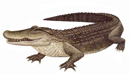 Images | Alligator Leather - Wholesale Alligator Skins for ...