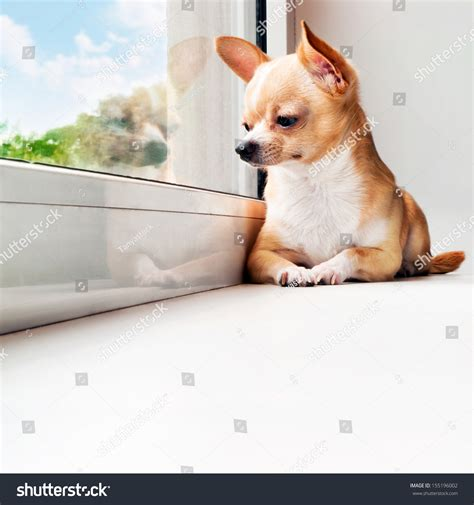 Small Dogs Looking For New Home Chihuahua Looking Out The Window Small Waiting