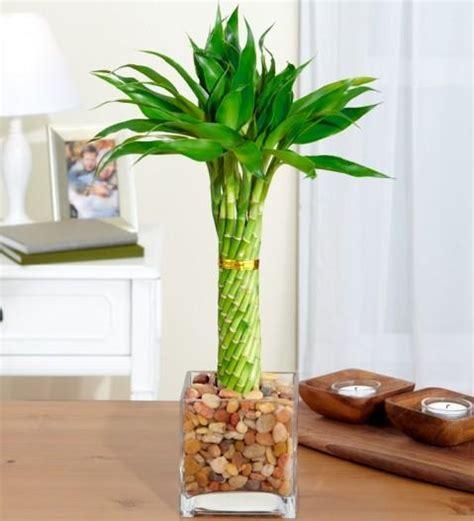 lucky home комнатное растение бамбук особенности выращивания уход