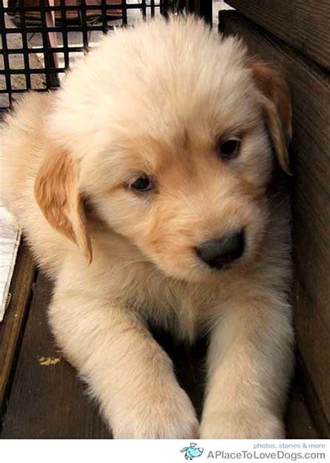 really golden retriever puppies really golden retriever puppies photo happy heaven