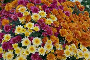 chrysanthemum colors file chrysanthemum x morifolium dompierre 3 jpg