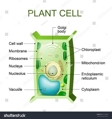 cross section of a plant cell plant cell anatomy cross section plant stock illustration
