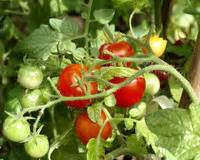 bahcede domates yetistirin uzmantv