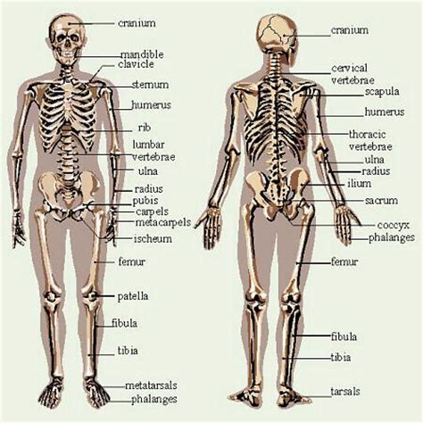 detailed skeletal system diagram mike s science homework