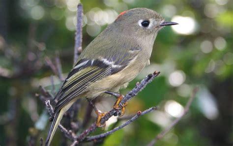wild birds unlimited second smallest bird in michigan