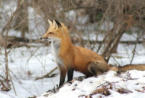 how can a live how can a fox live