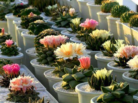 jenis kaktus mini   dipunya pecinta tanaman