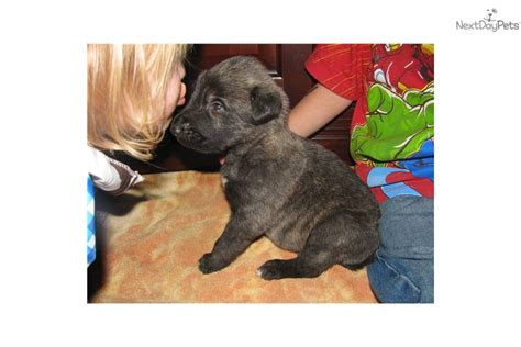 wolfhound puppies for sale near me wolfhound puppy for sale near tulsa oklahoma 258ba177 28c1