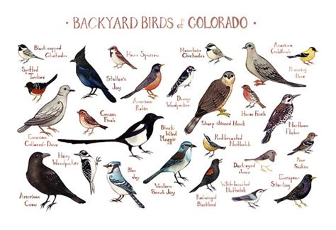 colorado backyard birds field guide art print watercolor