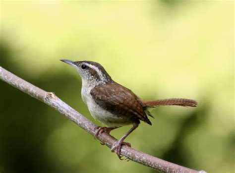 wren songbird house attracting songbirds with nest boxes