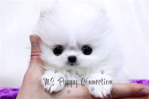 teacup pomeranian names teacup pomeranian names