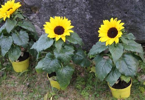 Bibit Bunga Matahari Kecil cara menanam bunga matahari dari biji bibitbunga