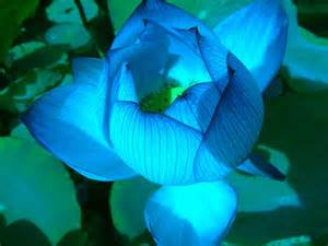 Blue Lotus Buy Quot Blue Lotus Flower Quot By Ingridsonja Redbubble
