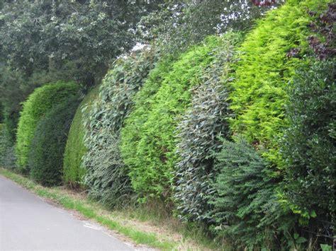 schnellwachsende hecke als sichtschutz 1817 schnellwachsende hecke sichtschutz greenvirals style