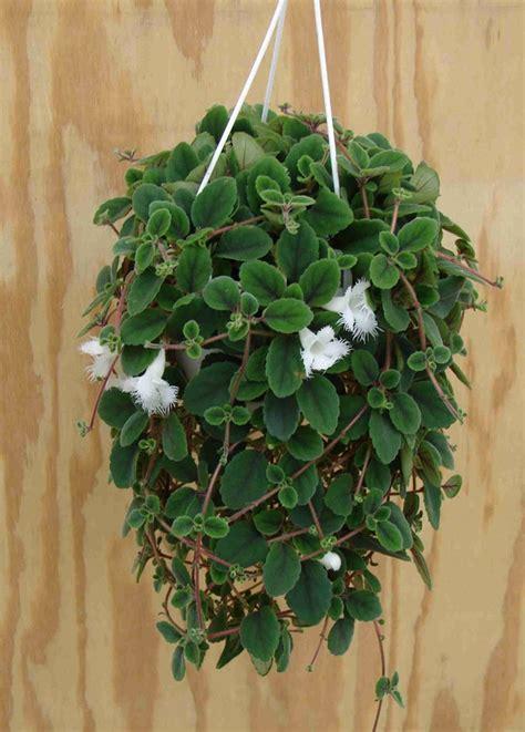 pianta da interno poca luce piante da appartamento poca luce aglaonema gpsreviewspot