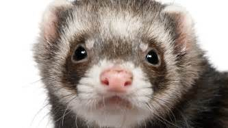 10 reasons to consider ferrets as pets pet care corner