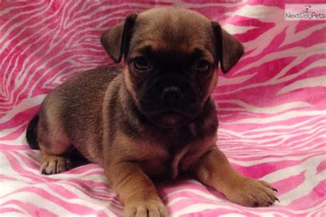 pug x fox terrier dogs and puppies for sale and adoption oodle marketplace