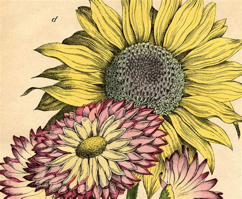 printable sunflower images lovely vintage sunflower printable the graphics fairy