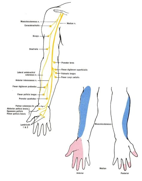 Symptoms Of Nerve Damage After C Section the 25 best ideas about median nerve on physical therapy nerve damage in and