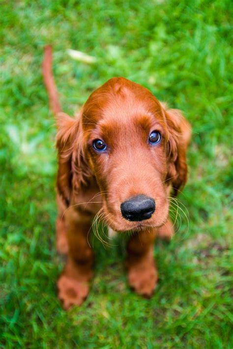 irish setter dog hiking 17 best images about doggies on pinterest puppys