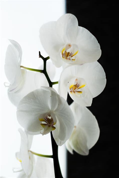 gambar mekar menanam putih daun bunga hitam flora