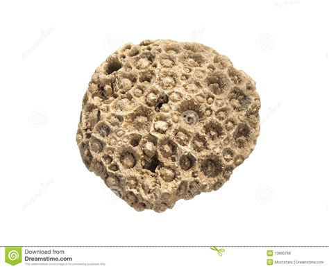 fossil coral lithostrotionella royalty free stock image