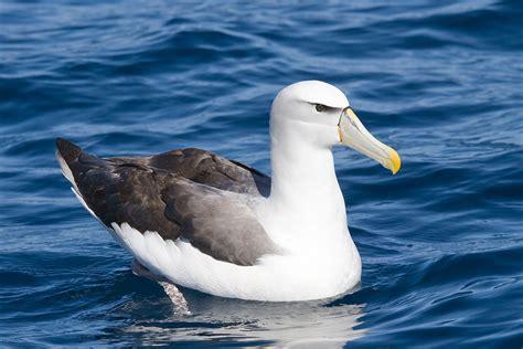 shy albatross wikipedia