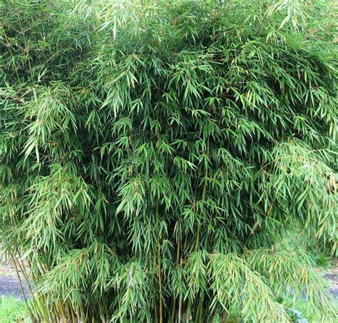 Jual Bibit Bambu Sidoarjo asam urat segera minum rebusan daun bambu bebeja