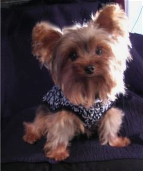 3 lb yorkie 1000 images about yorkies and other babies on yorkie yorkies and