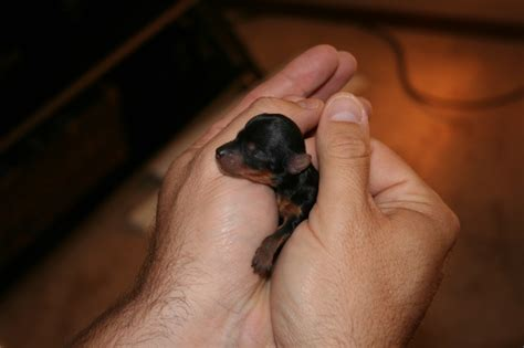 new born yorkie newborn yorkie i yorkies this is for you mae