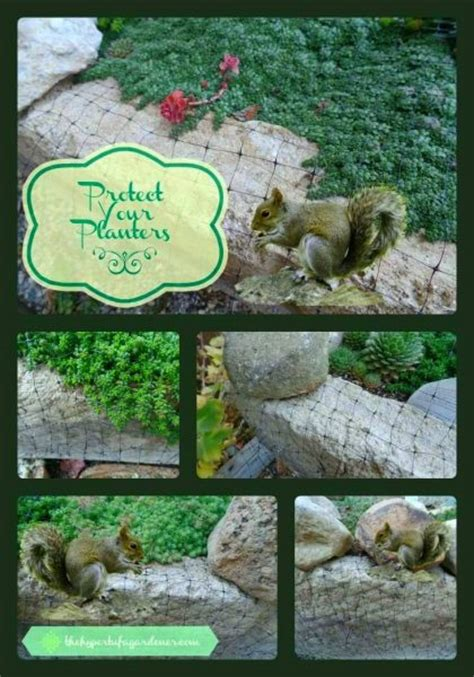 How To Keep Chipmunks Out Of The Garden by Keeping Squirrels Out Of The Garden Planters The Hypertufa Gardener