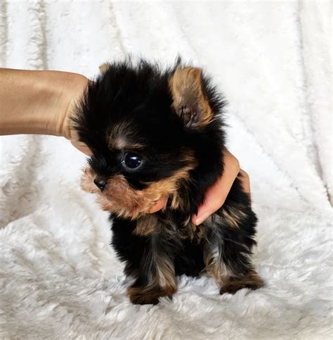 how big is a teacup yorkie iheartteacups we beautiful and tiny teacup and micro mini sized tea puppies for