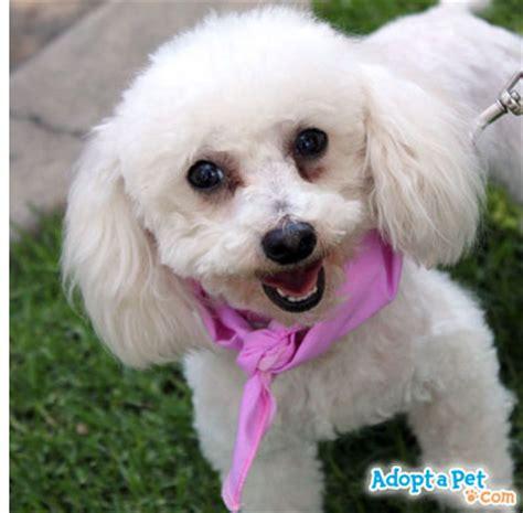 non allergic dogs hypoallergenic breeds non allergenic dogsdog breeds for allergy breeds picture
