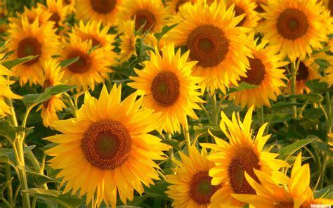 sunflower flowers photo 22283987 fanpop