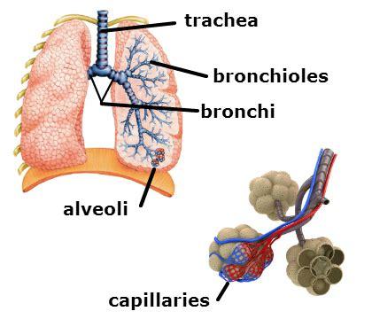 diagram of bronchioles a diagram of lungs showing trachea bronchi bronchioles