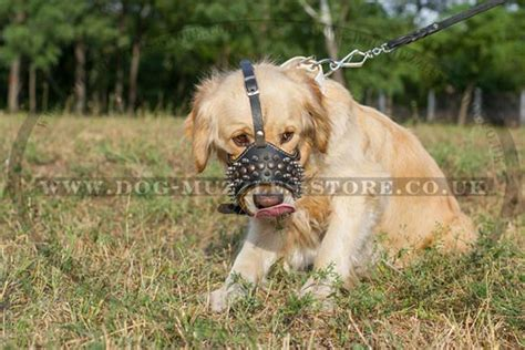 buy a golden retriever puppy uk golden retriever muzzle spiked muzzle for goldie 163 60 90