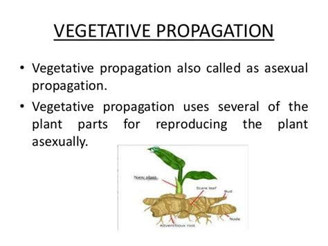 exles of vegetative propagation by roots vegetative d 233 finition what is