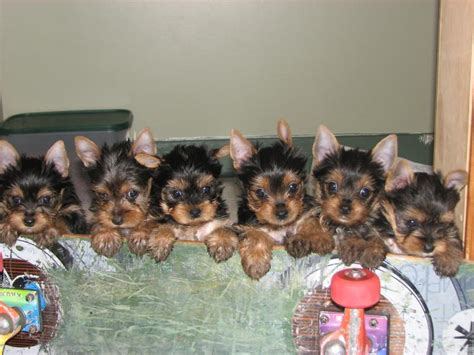 6 week yorkie puppy dynamo terriers puppies available