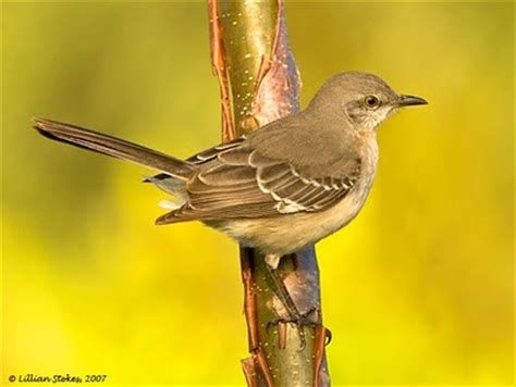 stokes birding blog feeder friday mockingbird problems
