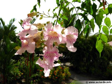 Beau Orchidee Jardin Des Plantes #2: podranea-ricasoliana-600x450.jpg
