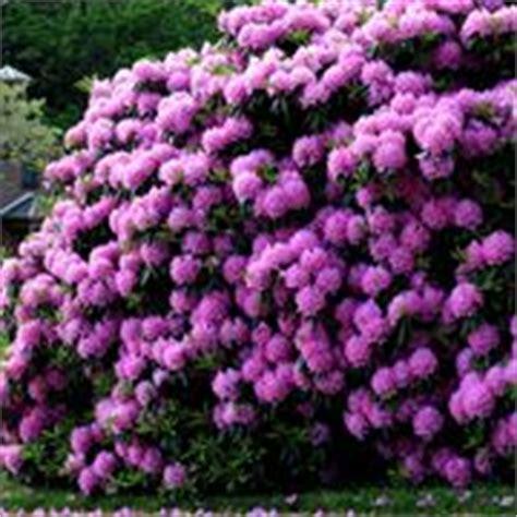 Fiori Simili Ai Rododendri significato rododendro significato dei fiori