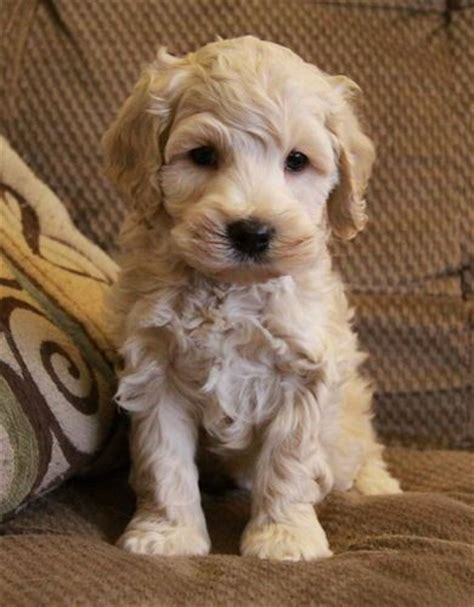 puppy apartment for sale 25 best ideas about cockapoo puppies on cavapoo dogs baby dogs and
