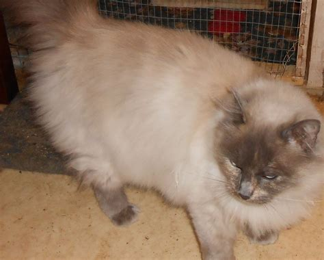 ragdoll rescue rescue ragdoll needs a happy home rotherham south