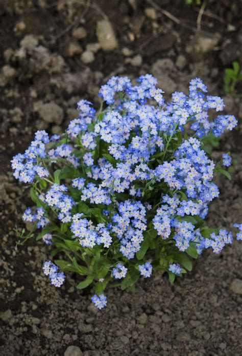 when to plant forget me nots tips on planting forget me nots from seeds