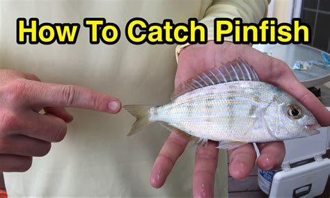 where when and how to catch fish on the east coast of florida classic reprint books how to catch pinfish for bait without a cast net or a